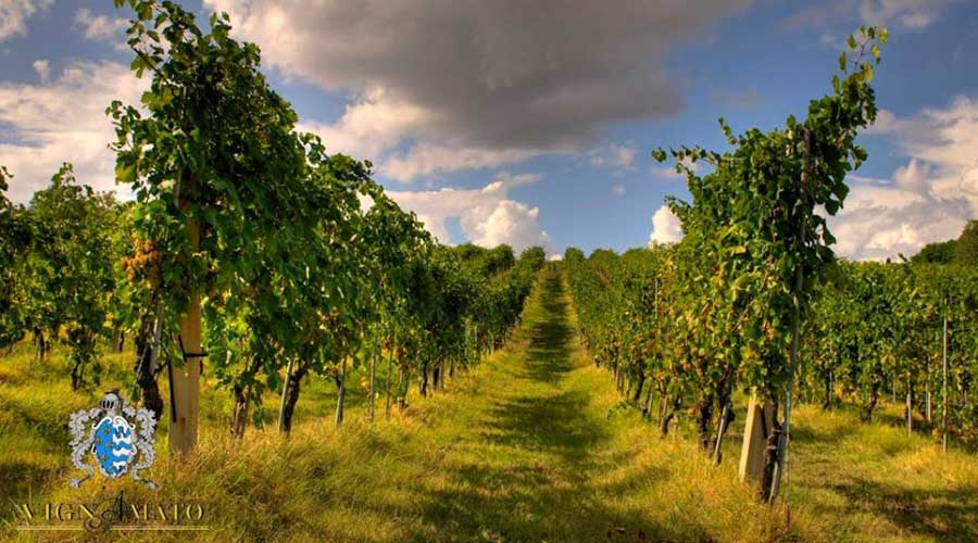 Vignamato_vineyards
