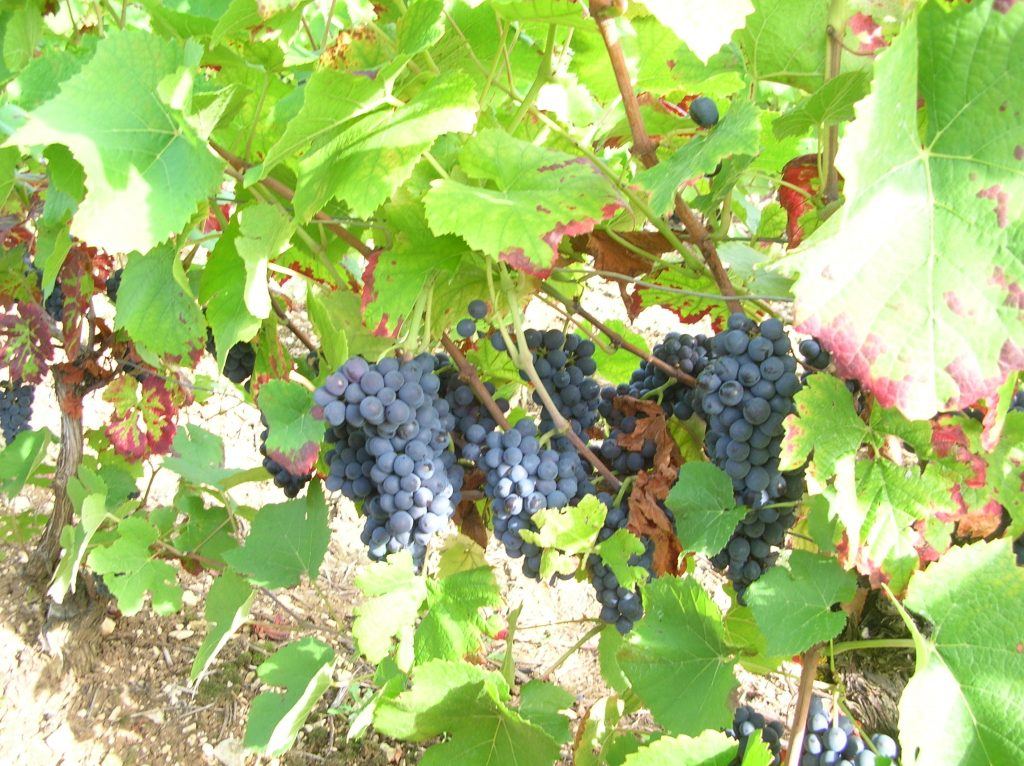 Champagne GALLIMARD Grapes
