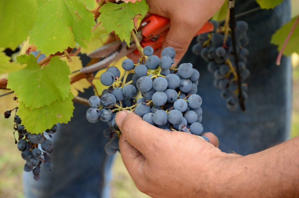 Montariolo Grape harvest