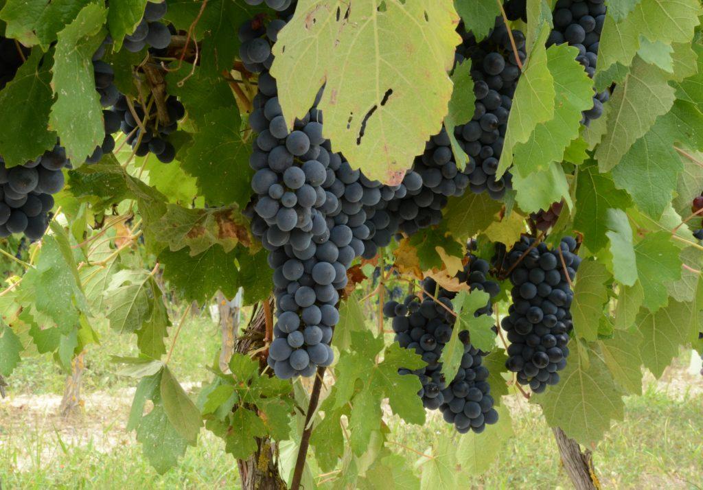 Montariolo Grapes