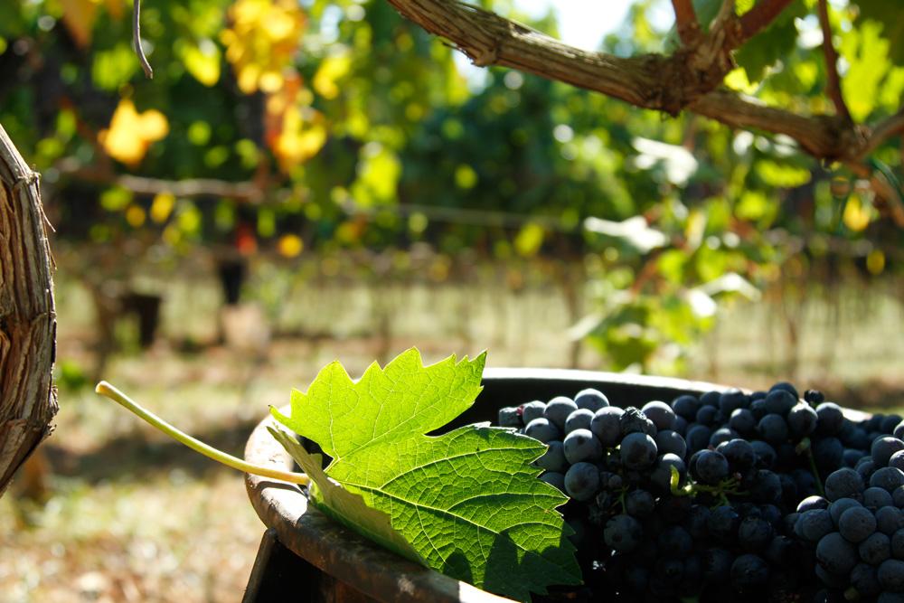 grapes_bonsegna