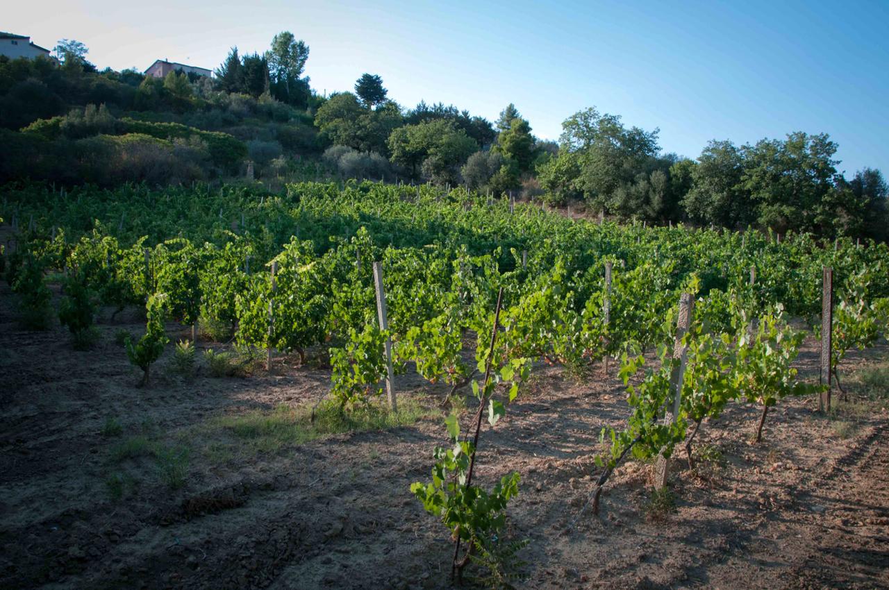 Barbadoro's vineyard