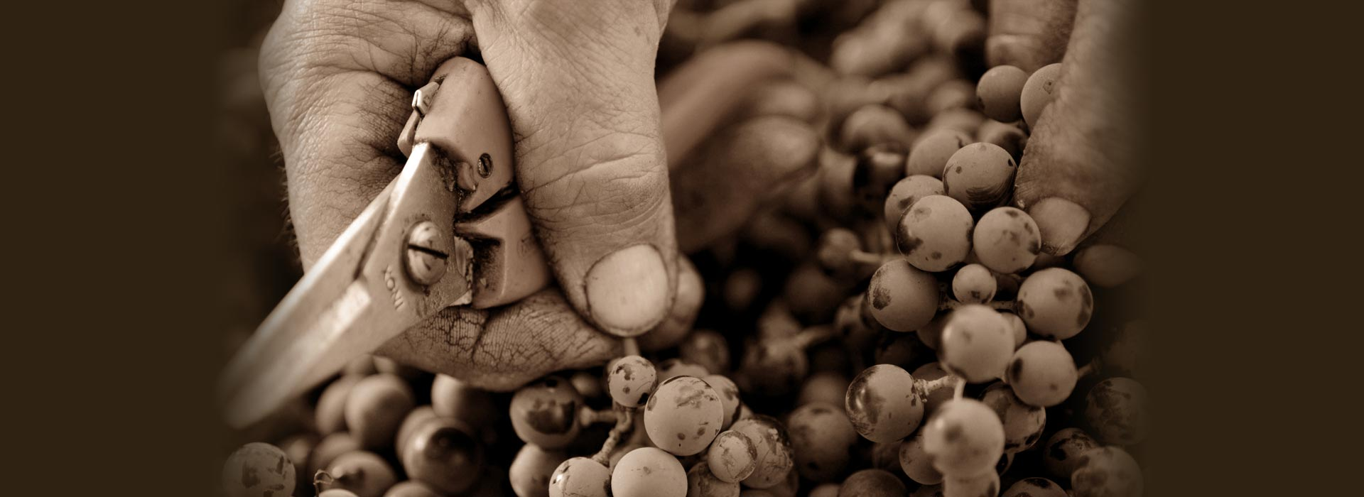 this is Poggio Nicchiaia's vineyard
