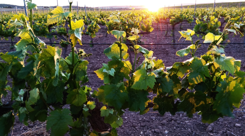 the vineyard2